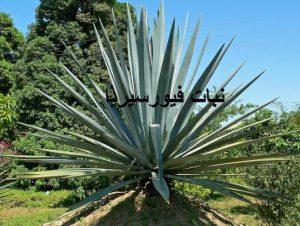 نبات فيورسيريا نبتة الصبار